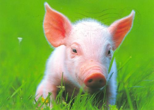 this little pig 简谱